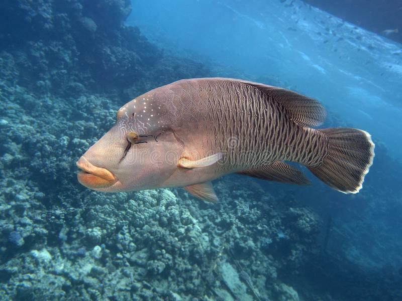 Рыба губан: описание, среда обитания и фото