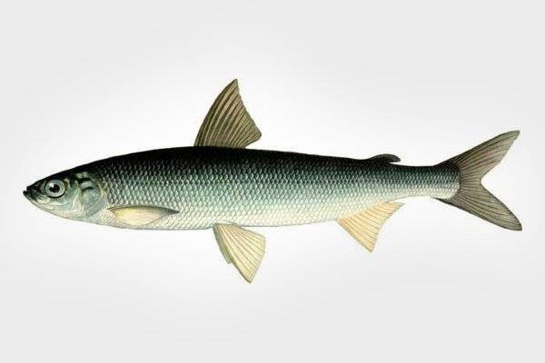 Засолка рыбы — вкусный домашний рецепт