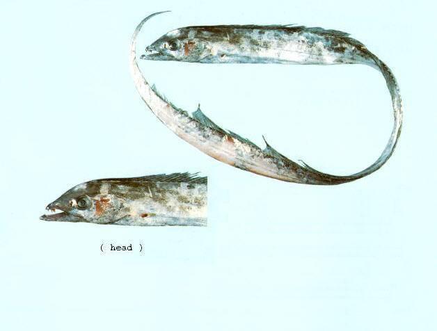Рыбка вуалехвост: описание, особенности содержания и уход