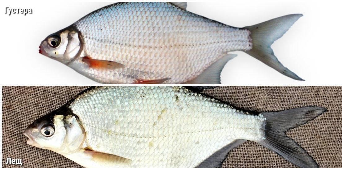 Отличия подлещика и леща: чем они отличаются внешне, разница в технике ловли