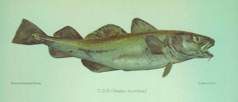 Треска красная: что за рыба, где водится, чем питается
