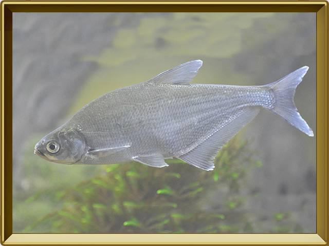 Густера: описание рыбы, места обитания, образ жизни, нерест, способы ловли и отличия густеры от подлещика