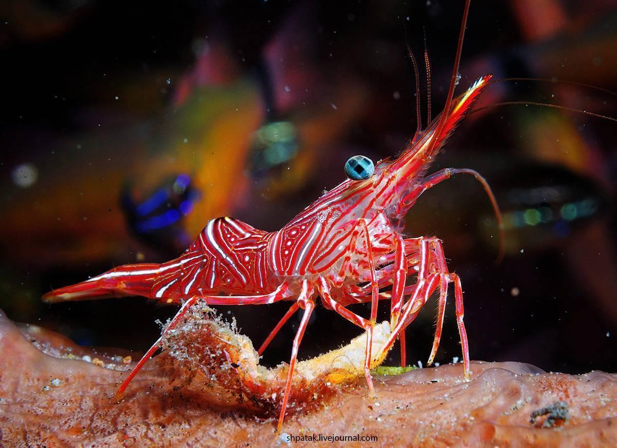 Водится ли в средиземном море креветки. водятся ли креветки в черном море