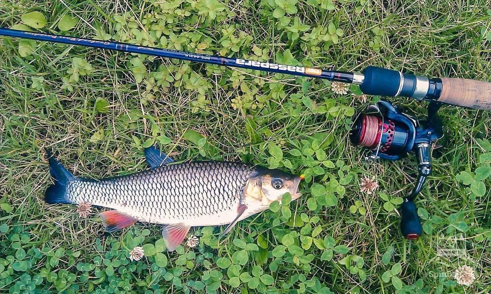 Ловля головля на кузнечика в проводку | рыболовная лига