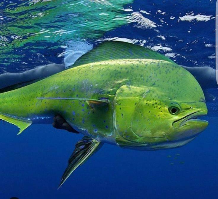 Арована рыба. описание, особенности, содержание и цена арована   животный мир