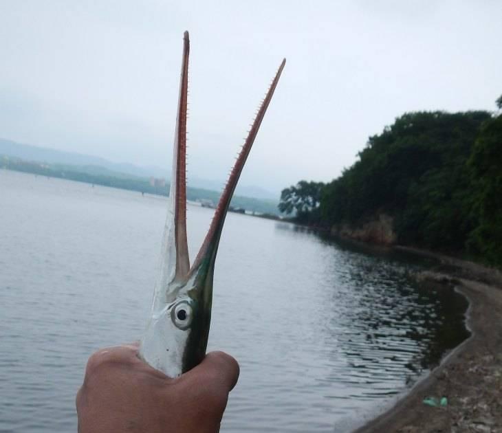 Черноморский сарган: описание вида, блюда из рыбы, полезные свойства