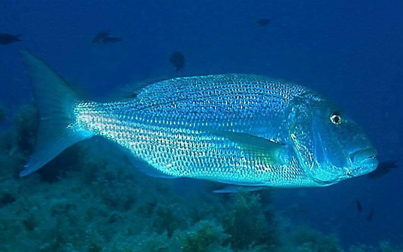 Рыба кефаль – блестящее чудо для здорового, бюджетного питания