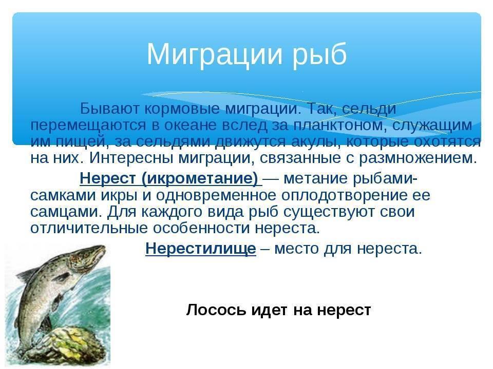 Рыба сом, размеры, повадки, нерест иинтересные факты