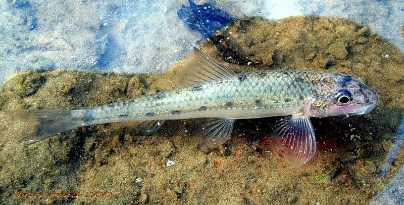 Пескарь: описание рыбы, повадки и способы ловли