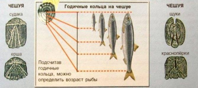 Как определить возраст рыб — разъясняем по пунктам