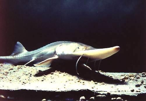 Морская промысловая рыба саварин (варехоу): описание, фото