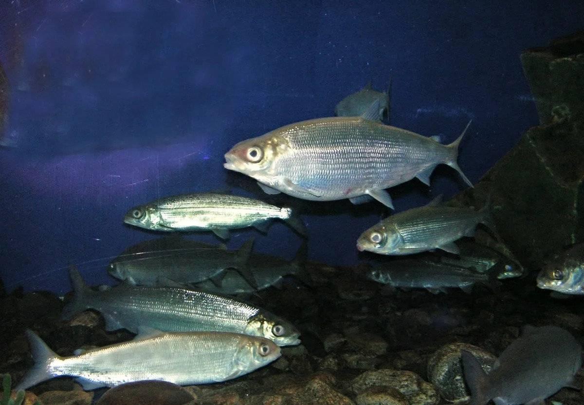 Рыба «Омуль байкальский» фото и описание