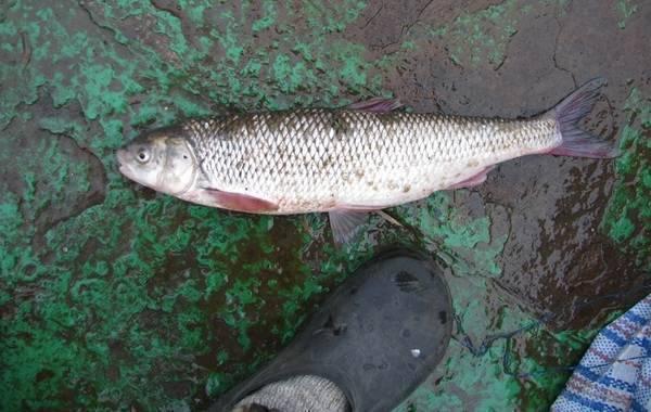 Вырезуб рыба: описание, особенности поведения, рыбалка, нерест