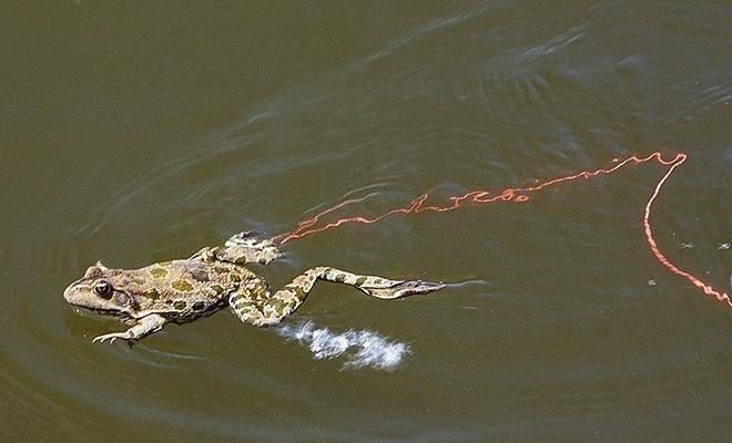 Ловля щуки на живую лягушку и лягушку-незацепляйку