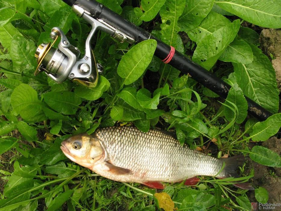 Ловля язя: на что клюет, как ловить на поплавочную удочку, наживки для рыбалки