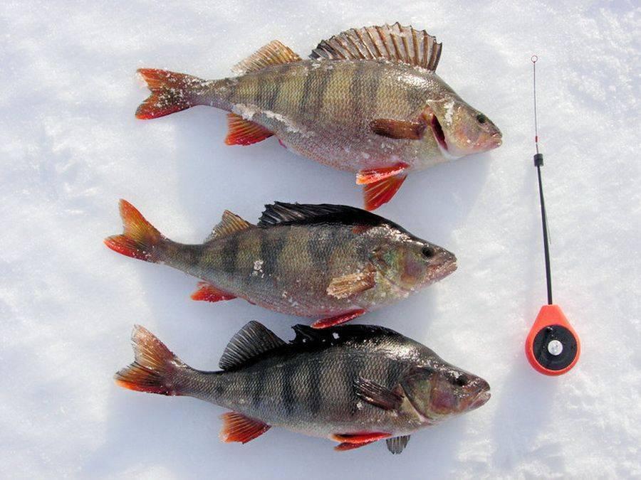 Ловля окуня на безмотылку зимой - выбор, техника ловли и лучшие модели
