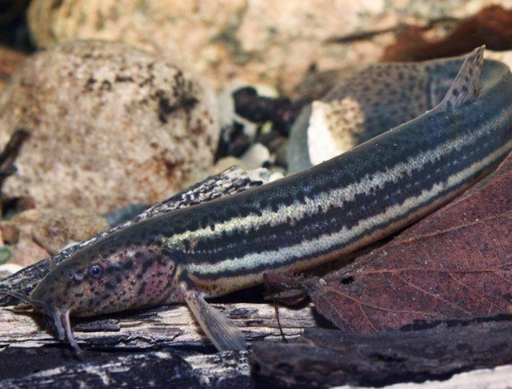 Рыба вьюн - описание, где обитает, как и на что ловить?