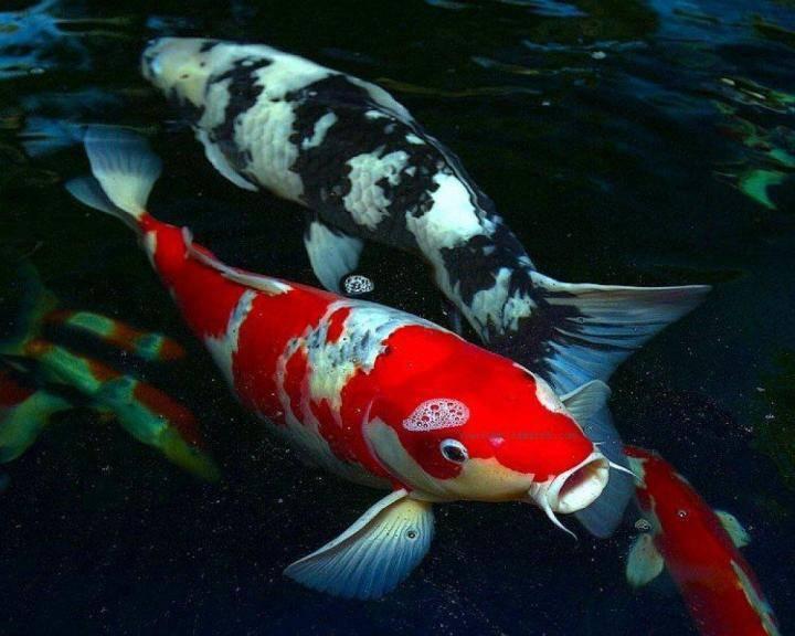 Карп кои: требования к содержанию японской рыбки