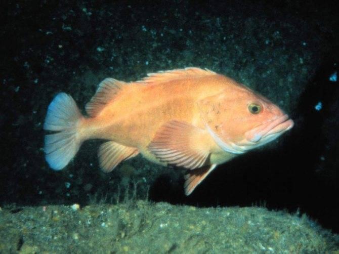 Рыба «Морской окунь мраморный» фото и описание