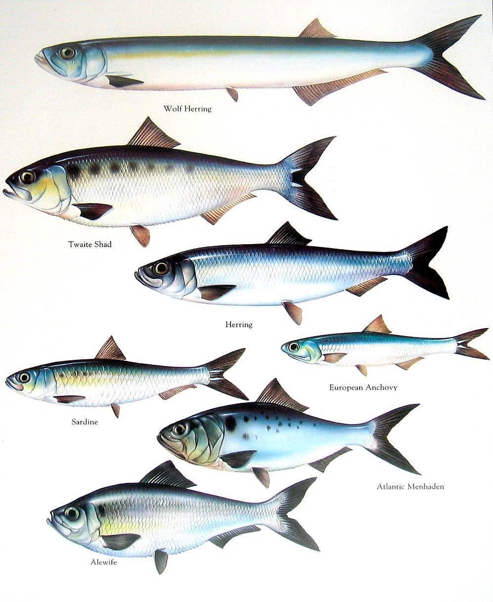 Рыба желтохвост: описание, рецепты приготовления, полезные свойства