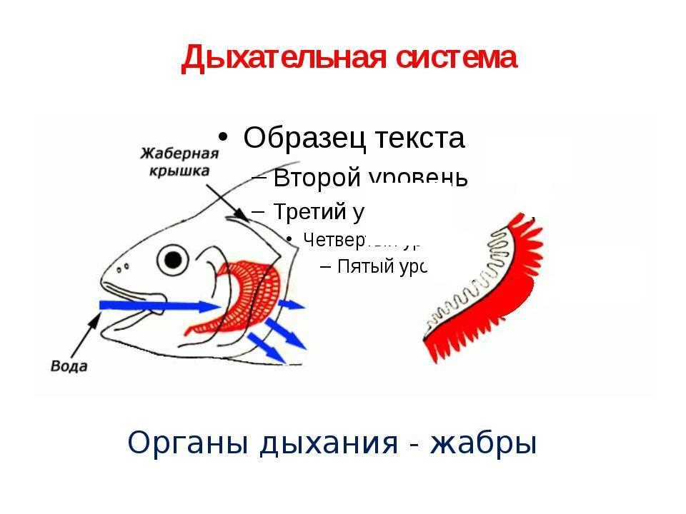 Строение жаберного аппарата рыб. дыхание рыб