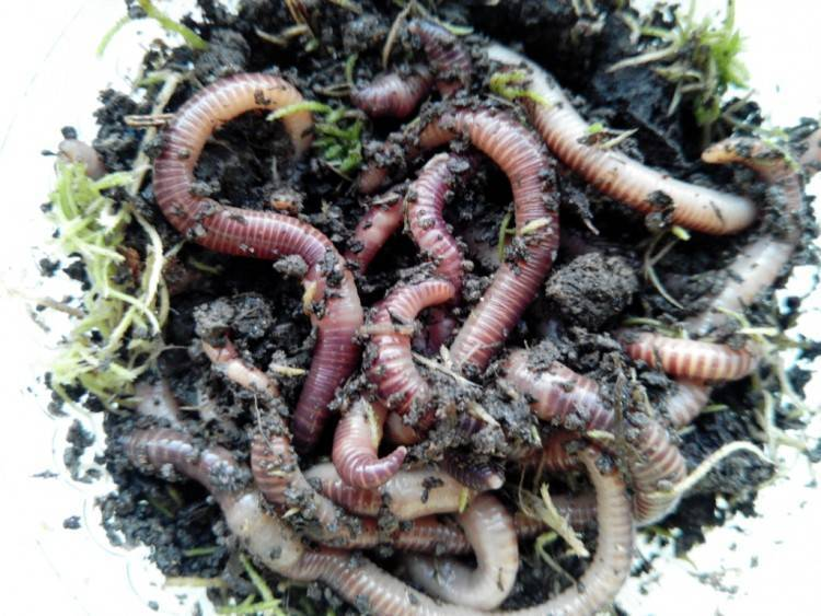 Навозный червь — способы добычи и секреты ловли. как правильно подготовить и разводить в домашних условиях (100 фото и видео)