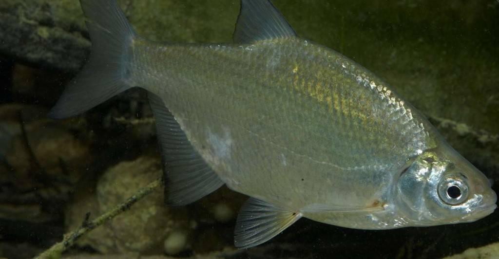 Рыба сопа, или белоглазка: фото и описание, где водится, ловля на течении, отличия от других рыб, прикормка, насадки и снасти