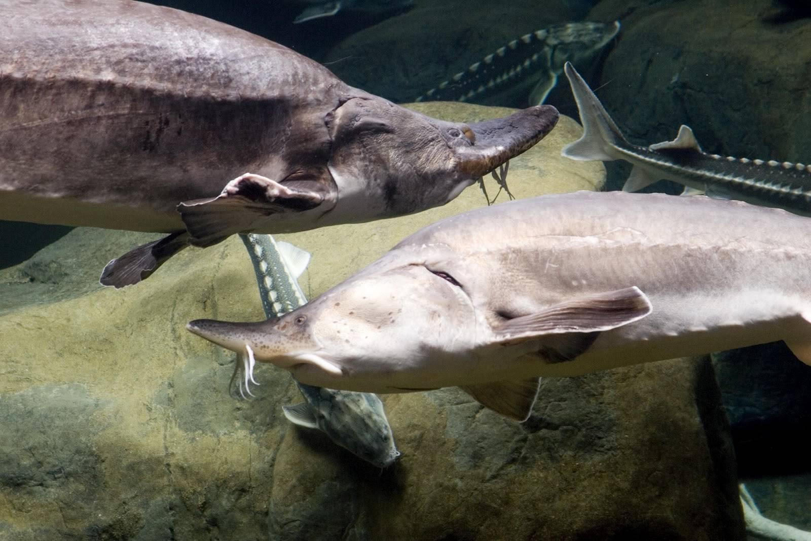 Калуга (рыба) википедия