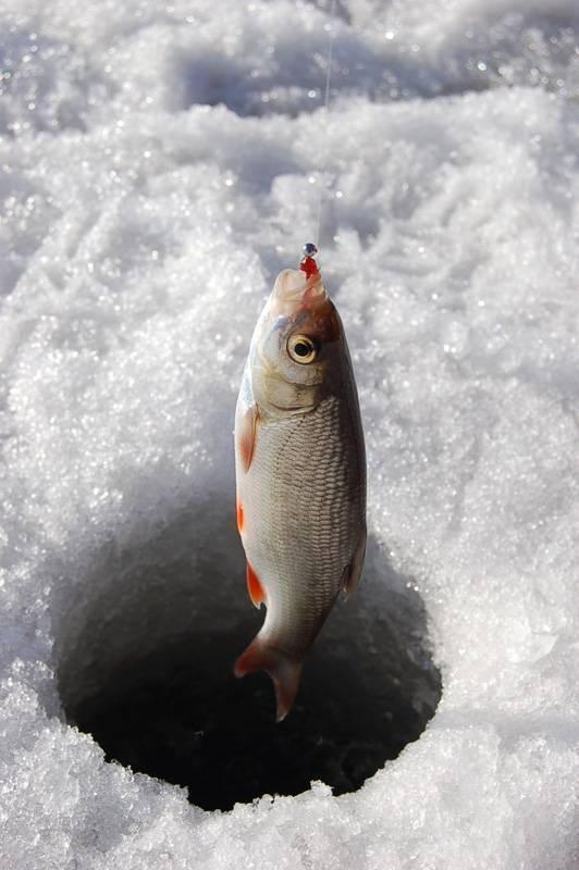 Чебак зимой - как ловить
