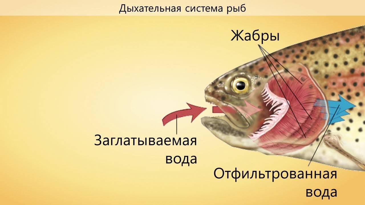 Дыхательная система рыб. специфические особенности строения рыб