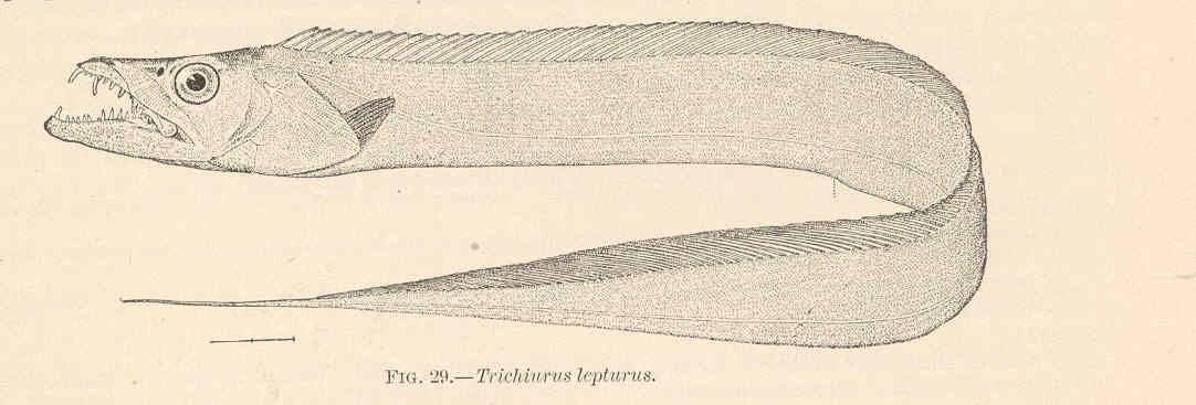 Рыба усач – фото и описание