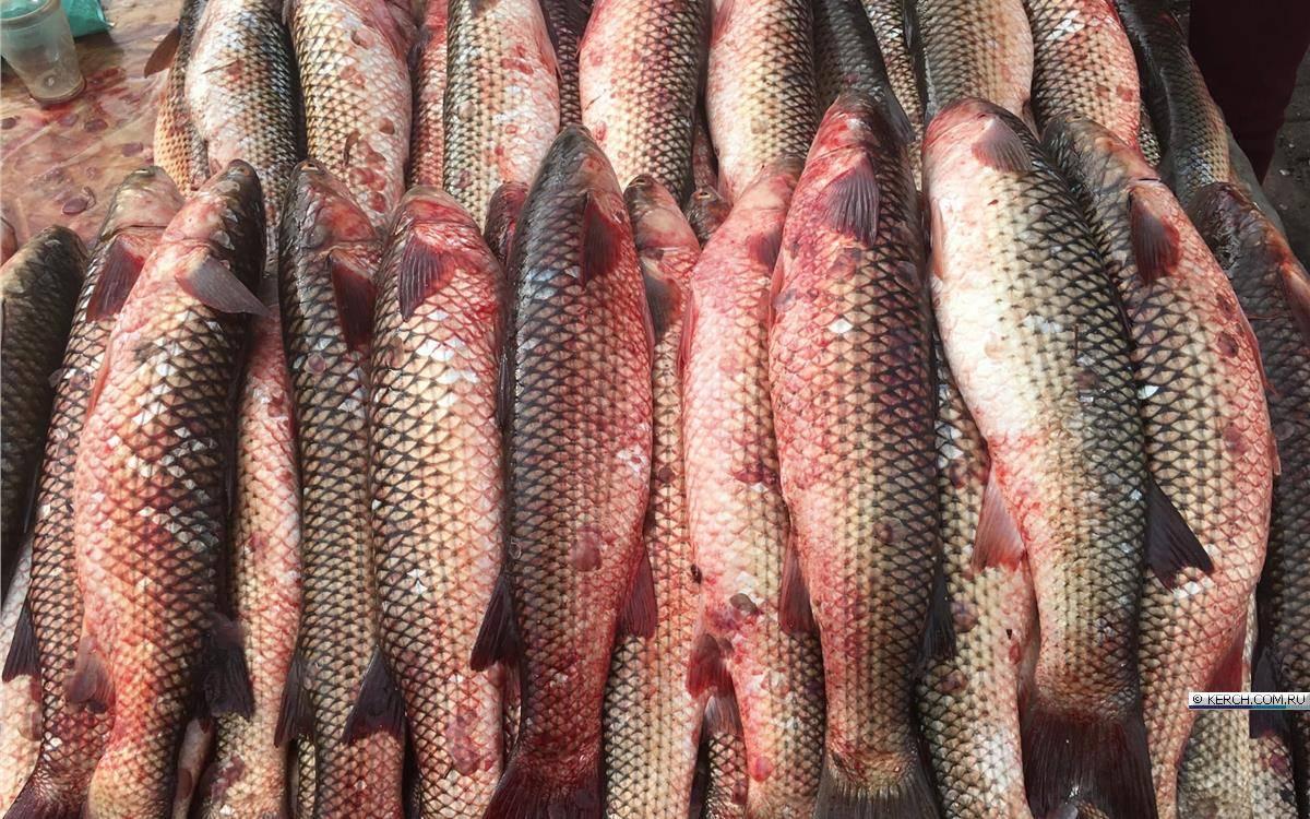 Рыба пеленгас: фото и описание, оснастки для ловли, прикормки своими руками, на что клюет