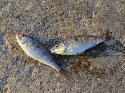 Рыба усач – разновидности, описание, места обитания, способы ловли