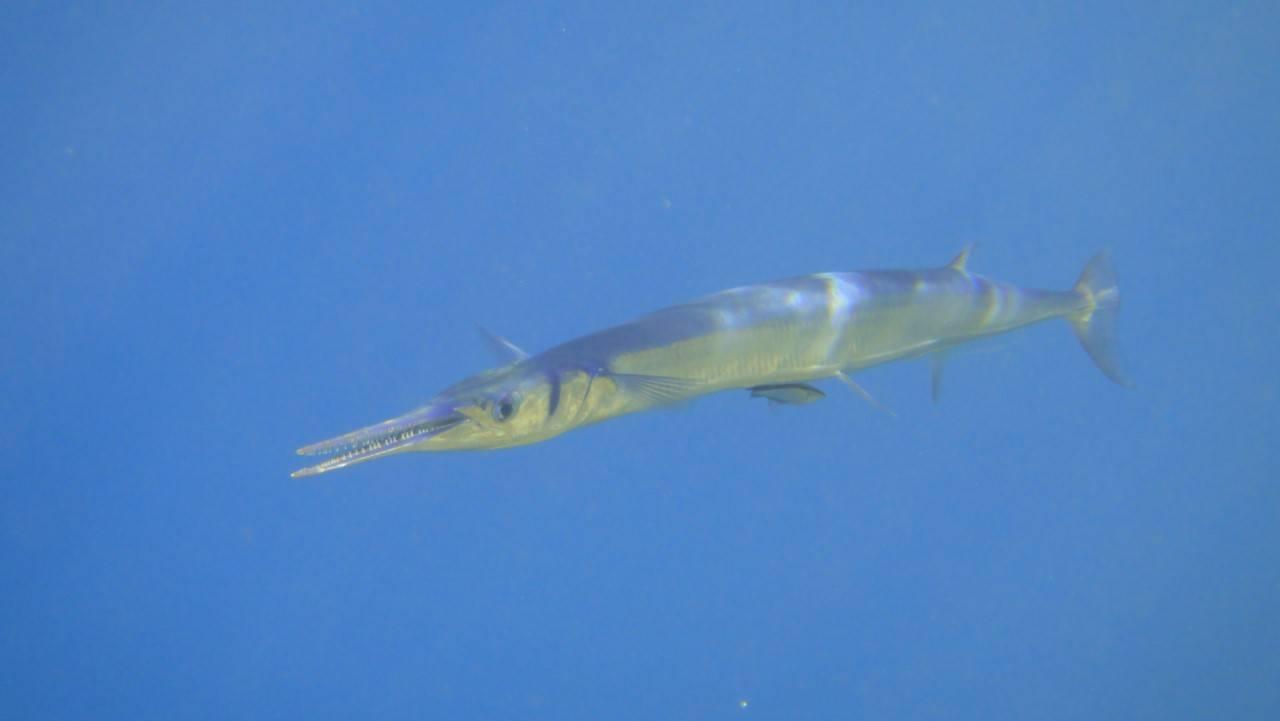 Рыба с синими костями. полное описания морской рыбы сарган фото видео