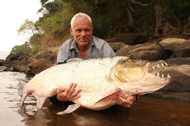 Большая тигровая рыба голиаф: свирепый хищник реки конго   живой мир - природа