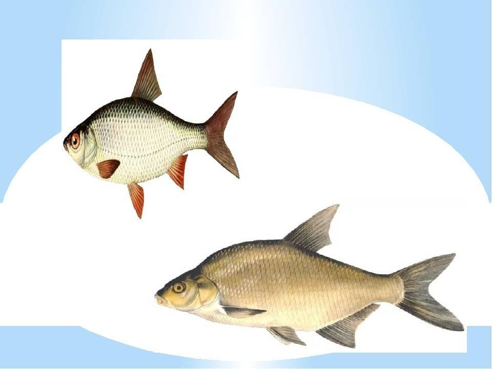 Различия между ловлей леща и подлещика в различных условиях. фото. видео.