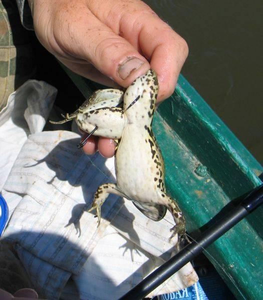 Ловля щуки на лягушку - эффективная приманка для хищника