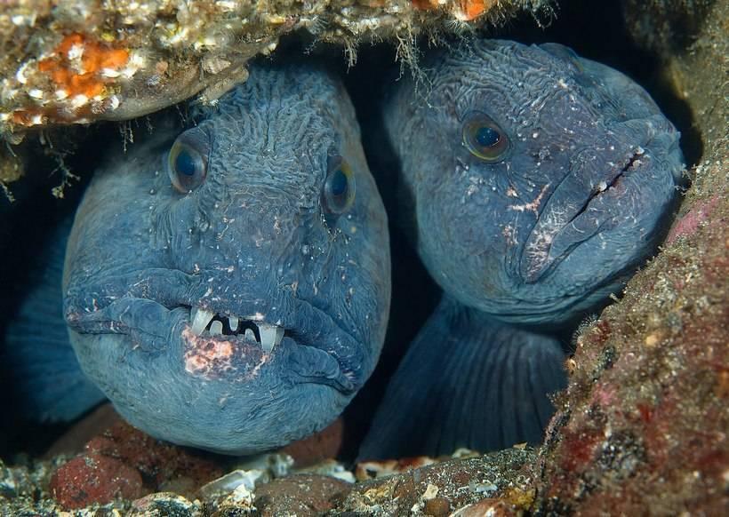 Рыба зубатка — польза и вред, диетические свойства