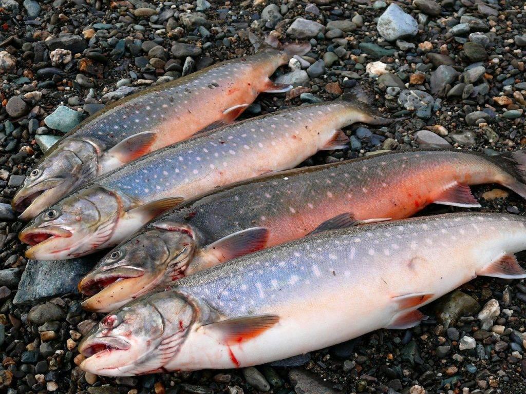 ✅ рыба голец польза и вред где водится - vsezap24.ru