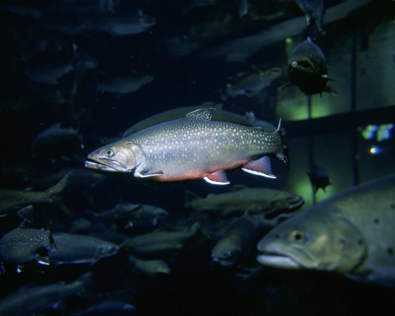 Голец рыба: описание и отзывы на камчатский, дальневосточный вид
