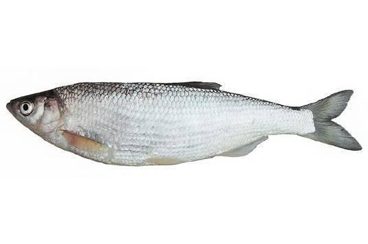 Шамайка — рыба, называемая «царской» : labuda.blog шамайка — рыба, называемая «царской» — «лабуда» информационно-развлекательный интернет журнал