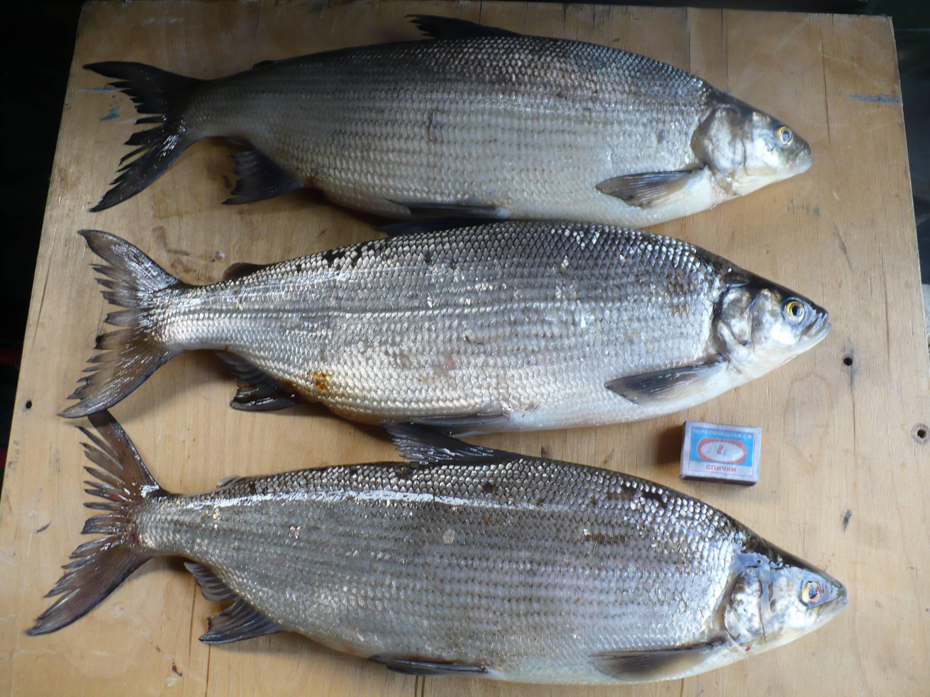 Пелядь и сырок – одна и та же рыба
