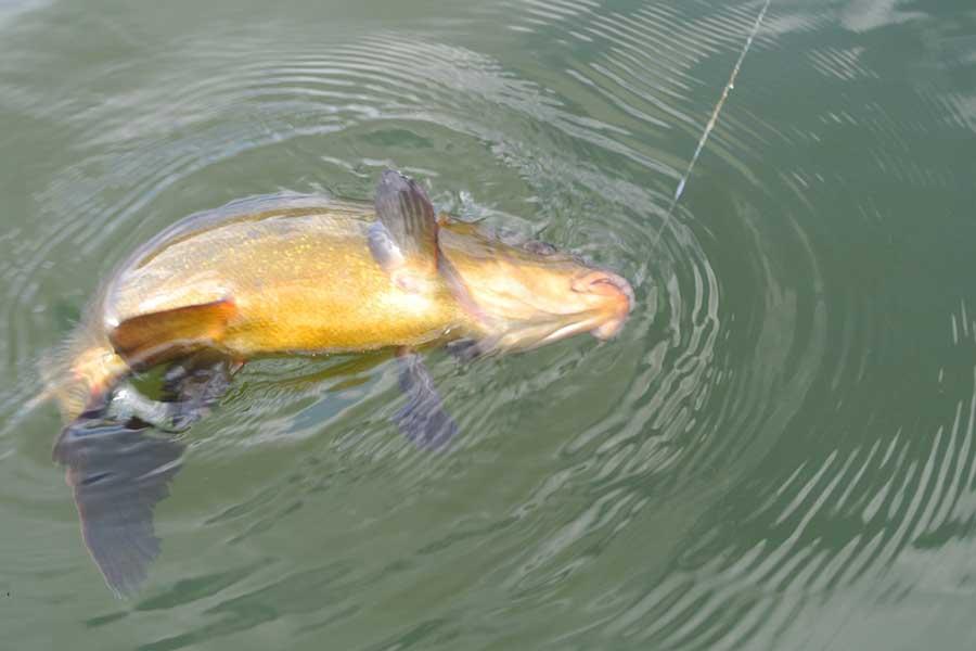Ловля линя на поплавочную удочку летом (в августе, июле): как ловить, видео