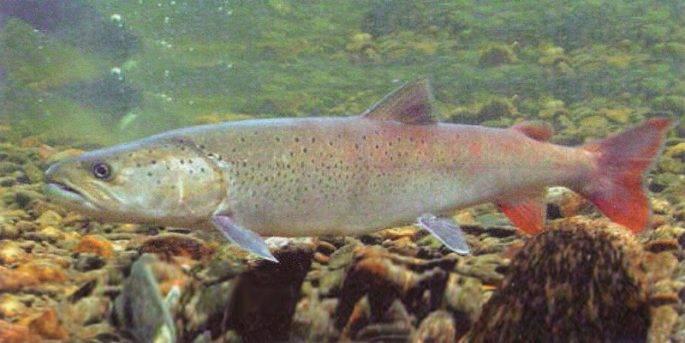 Виды лосося. дальневосточный лосось (фото)