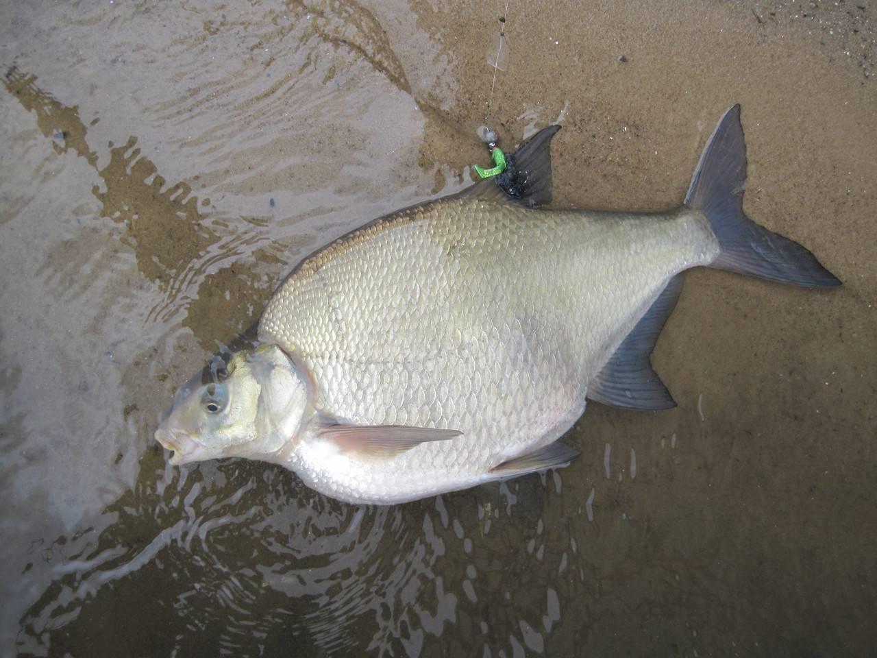 Рыба лещ: фото, как выглядит, описание и разновидности, костлявая или нет