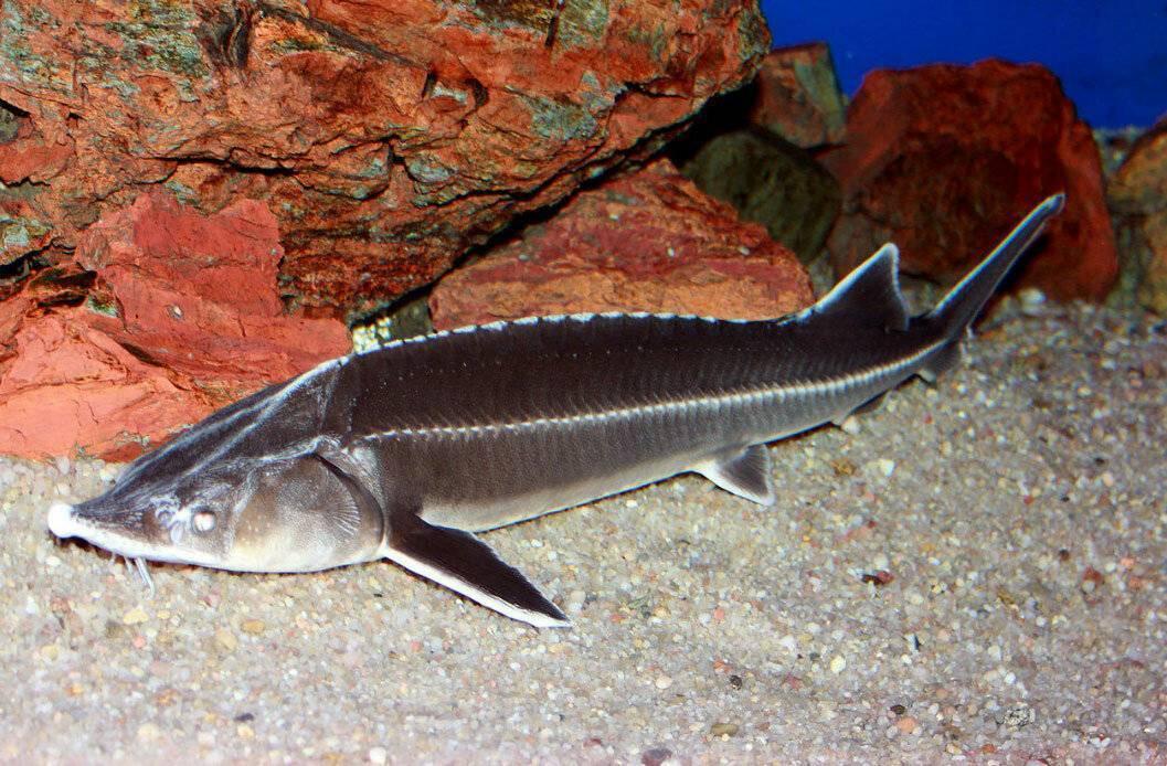 Рыба «Стерлядь» фото и описание