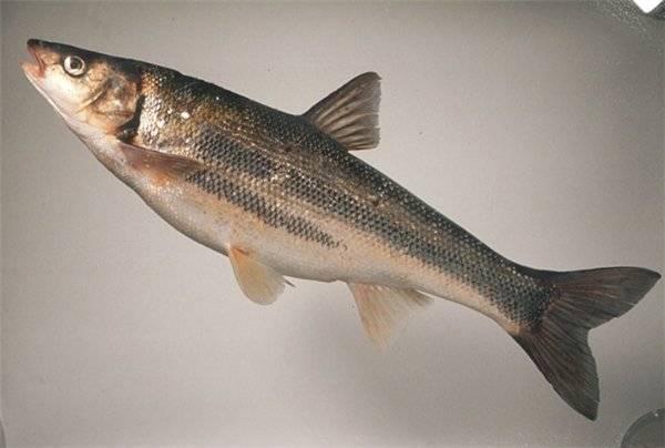 Что известно о рыбе красноперка
