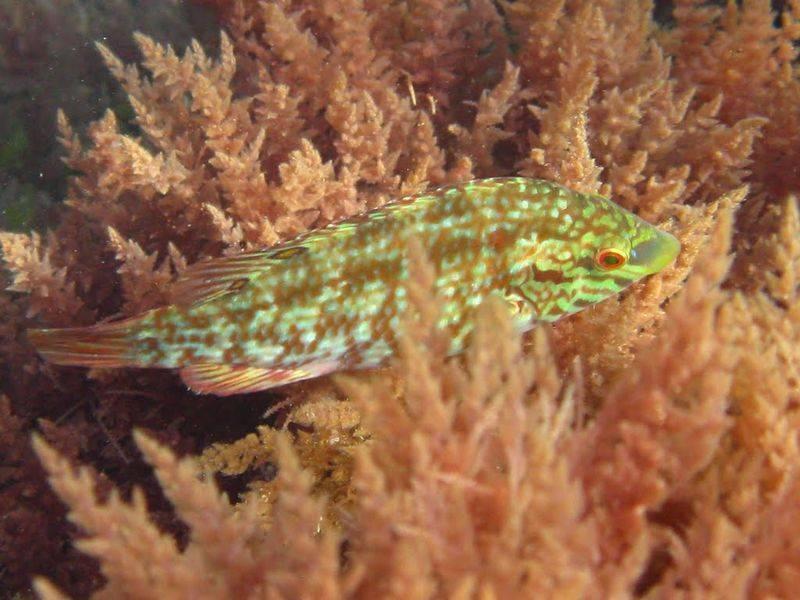 Рыба «Губан-перепёлка» фото и описание