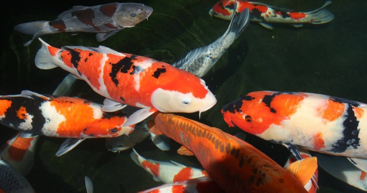 Карпы кои в аквариуме: сколько живут, содержание и разведение, особенности кормления, болезни рыб