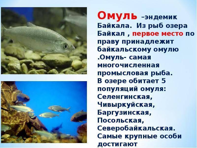 Кто такой омуль, где водится эта рыба